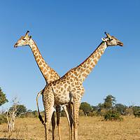 Africa, Botswana, Chobe National Park, Giraffes (Giraffa camelopardalis) standing side by side near Chobe River in Okavango Delta