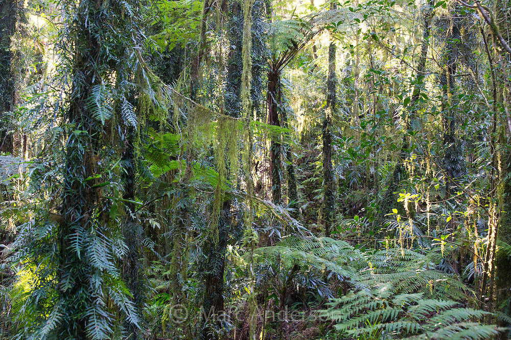 Antarctic Beech Forest, Border Ranges National Park, NSW, Australia