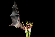 Lesser Long-nosed Bat are crucially important pollinators of century plant -- rarely flowering and widely dispersing agave.  Nogales, Arizona, United States/Mexico border <br /> <br /> Canon Mk III + 70-20mm lens at 105mm, handheld, speedlite flash over camera.