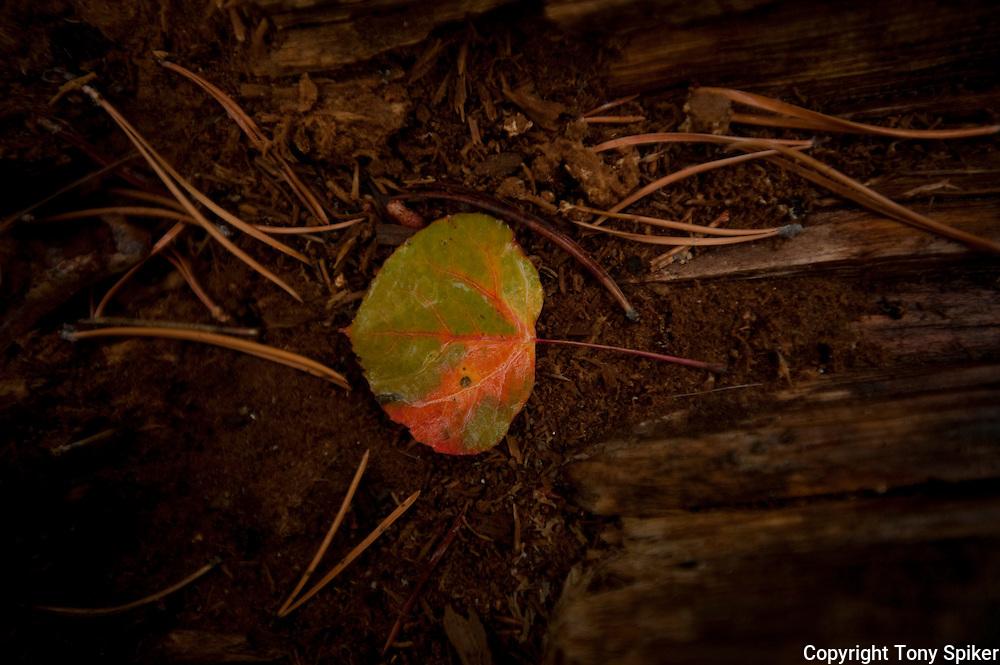 """""""Aspen Leaf 5"""" - A newly fallen Aspen leaf lies on a fallen tree"""