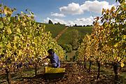 Harvesting pinot noir at Archery Summit's Arcus vineyard, Dundee Hills, Willamette Valley, Oregon