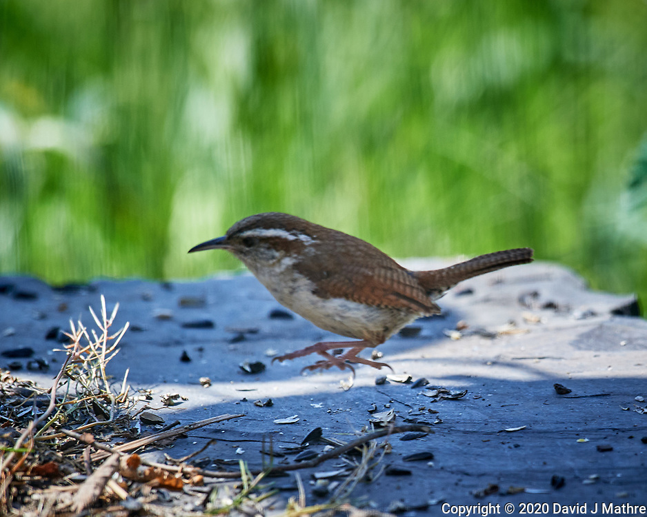 Carolina Wren.  Image taken with a Nikon D5 camera and 600 mm f/4 VR telephoto lens (ISO 640, 600 mm, f/5.6, 1/1250 sec).
