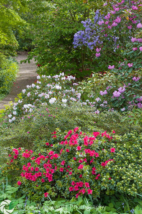 Rhododenrons and Azaleas bloom in the Quarry Garden at Dorothy Clive Garden, Staffordshire