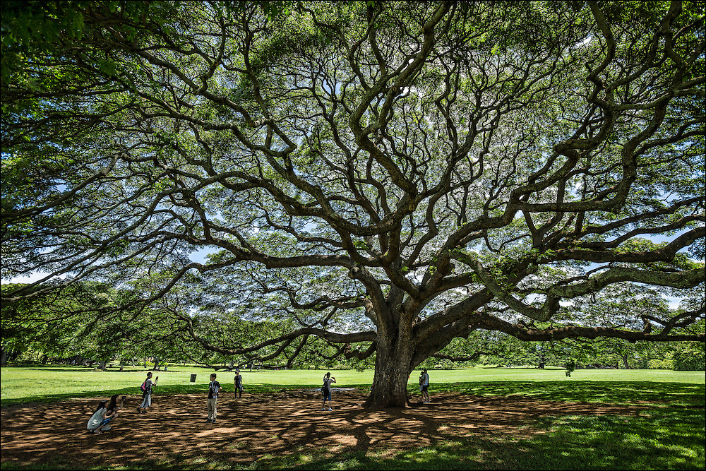 Visitors take photographs under Hitachi monkeypod tree at Moanalua Gardens in Honolulu, HI. ©PF Bentley