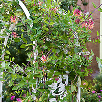 Annual and Perennial Vines: Lonicera x heckrottii, goldflame honeysuckle..