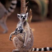 Ring-tailed Lemur, (Lemur catta) ENDANGERED SPECIES.Adult nursing young. Madagascar.