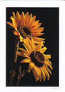 Greeting card with 2 Bright Sunflowers photographed against a black background and individually printed on archival card stock in vivid colors