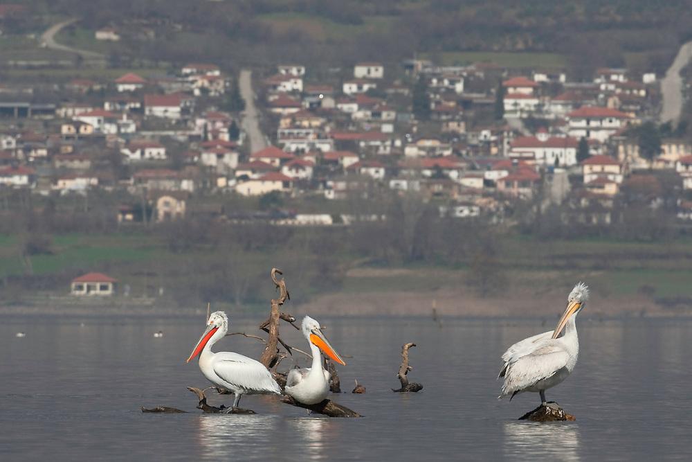 Dalmatian Pelican (Pelecanus crispus) at the Lake Kerkini, Macedonia, Greece. February 2009