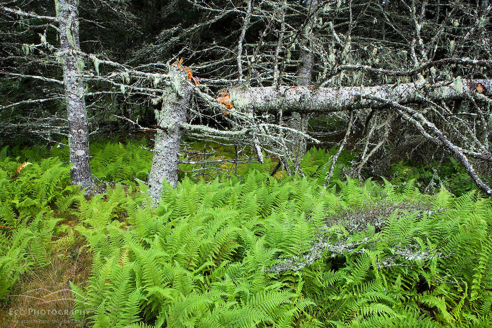 Ferns and a broken spruce tree in the forest near Duck Harbor Campground on Isle Au Haut in Maine's Acadia National Park.