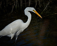 Great Egret hunting for breakfast. Merritt Island National Wildlife Refuge. Image taken with a Fuji X-T2 camera and 100-400 OIS lens