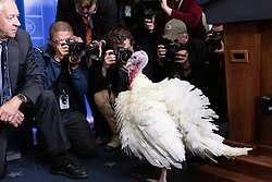November 20, 2018 - Washington, DC, United States - Jeff Sveen, (L), chairman of the National Turkey Federation, brings The National Thanksgiving Turkey into the Brady Press Briefing Room of the White House in Washington, D.C., before the pardoning ceremony on Tuesday, Nov. 20, 2018. (Credit Image: © Cheriss May/NurPhoto via ZUMA Press)
