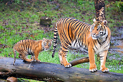 © Licensed to London News Pictures. 21/12/2017. Kirby Misperton UK. A Tiger cub born in August stands on a log with her mother Surya today as she took her first steps outside today at Flamingo Land zoo in Yorkshire. The female cub is so far un-named & is the cub of Bawa & Surya. The new arrival was the culmination of seven years of hard work by Flamingo Land animal carers in their attempts to protect the critically endangered species. Photo credit: Andrew McCaren/LNP