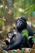 While the Celebes Crested Macaque mother is carrying her young she feeds on the ground. | Wird der junge Schopfmakake noch getragen sucht die Mutter meist auf dem Boden.