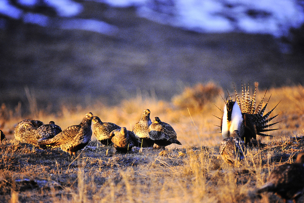 Hens clustering around alpha male. Lek breeding. Colorado