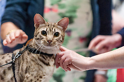 © Licensed to London News Pictures. 07/05/2016. London, UK. A ocecat receives attention from visitors.  Huge crowds of pet lovers visit The National Pet Show at the Excel centre.  Everything from dogs, cats, small furry animals to reptiles are on show for visitors to meet. Photo credit : Stephen Chung/LNP