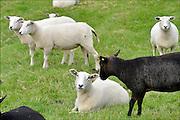 Nederland, Ooij, 12-9-2015Witte en zwarte schapen staan buiten in de wei.FOTO: FLIP FRANSSEN/ HH