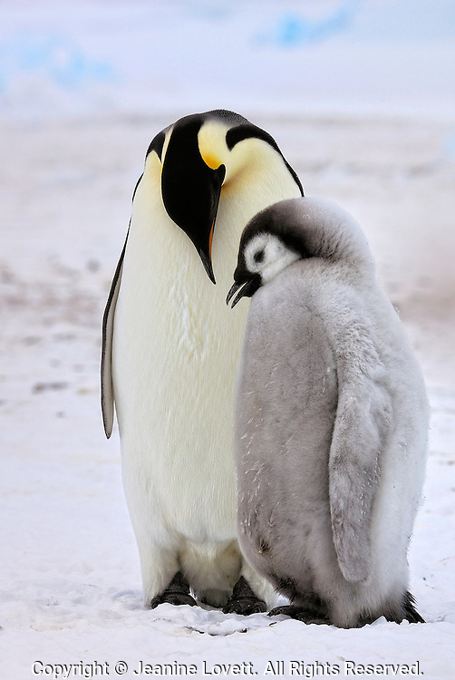 Emperor penguin chick begging adult for food.