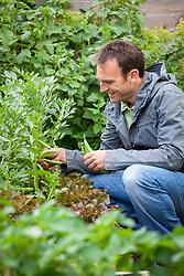 Harvesting broad beans. Vicia faba