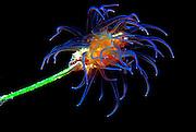 UNDERWATER MARINE LIFE CARIBBEAN, generic Seagrass anemone Anthozoa