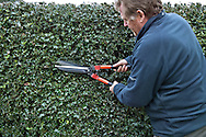 Tony Kirkham using shears to prune back an Ilex cv (holly) hedge
