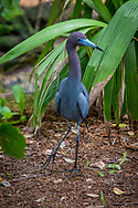 The little blue heron (Egretta caerulea) is a small heron. It breeds in the Gulf states of the US, through Central America and the Caribbean south to Peru and Uruguay. It is a resident breeder in most of its range, but some northern breeders migrate to the southeastern US or beyond in winter. There is post-breeding dispersal to well north of the nesting range, as far as the Canada–US border.