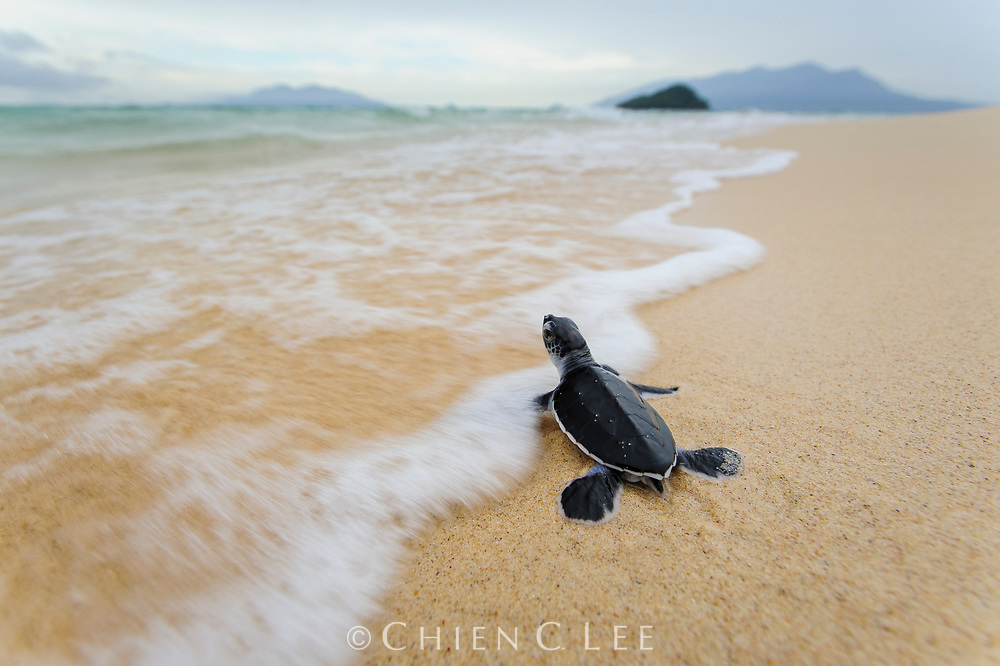 A newly hatched Green Turtle (Chelonia mydas) makes its way down the beach and feels the touch of the sea for the first time in its life. Many predators lie in wait and young sea turtles have an astonishingly low survival rate, but if it reaches adulthood it may well return to the same beach years in the future to lay eggs of its own. Sarawak, Malaysia.