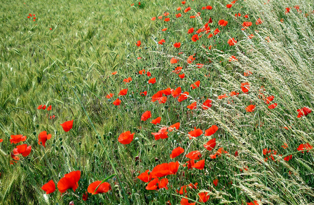 Poppies in Normandy.