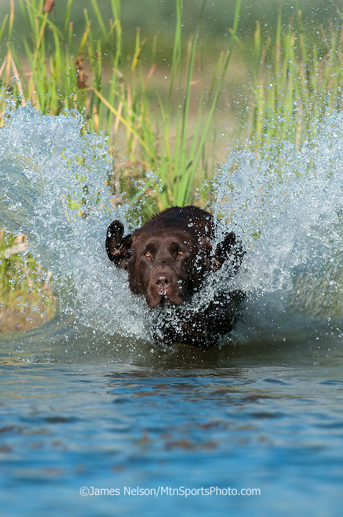 A chocolate Labrador retriever hits the water during a training session on a pond.