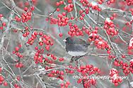01569-01718 Dark-eyed Junco (Junco hyemalis) in Winterberry bush (Ilex verticillata) Marion Co. IL