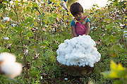 A young girl helps Sheela and her husband Manga harvest their organic cotton on their farm in  Sendhwa, India.<br /> <br /> Sheela and Manga have recently converted to organic cotton farming with help from the Aga Khan Foundation who are working in partnership with the C&A Foundation.