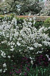 Syringa x persica 'Alba' - Persian lilac at Great Dixter