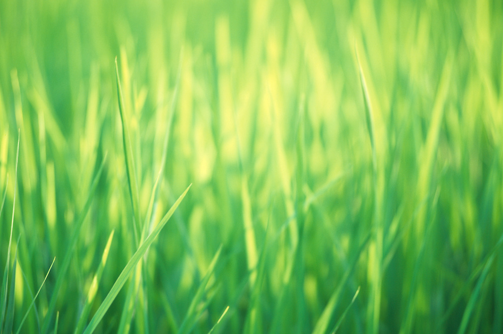 Bali, rice field, closeup of blades of grass