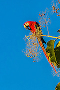 Scarlet Macaw  in tree at Cerro Lodge, Puntarenas, Costa Rica.  Scarlet macaw eating nuts from a teak tree