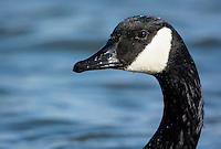 Canada Goose, Branta, canadensis, swims on the Chesapeake Bay, Cambridge, Maryland, USA.