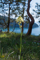 With the reputation of being the plant that has killed more people in the Pacific Northwest than any other plant ever will, the death camas is a rather plain-looking, white-flowered member of the lily family that often grows in and among the historically significant common camas, which has been used as a food source for centuries, if not millennia. The corm (think of something similar to a tulip or daffodil bulb) of the common blue-flowering camas is was an extremely important food source for the native peoples and settling pioneers, and when dug up when not in flower, the nutritious common camas corm and the highly poisonous death camas corm are virtually indistinguishable. This was one of hundreds found and photographed among the edible common camas on Fidalgo Island in Anacortes, Washington on a mid-April afternoon almost at the very edge of the high cliffs overlooking Rosario Strait.