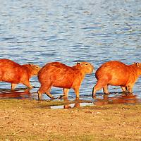 Chigüire, (Hydrochoerus hydrochaeris), es una especie de roedor de la familia de los cávidos. Cojedes. Venezuela. Capybara (Hydrochoerus hydrochaeris) is a species of rodent in the family cávidos. Cojedes. Venezuela