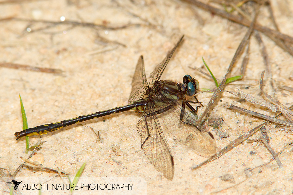 Diminutive Clubtail (Phanogomphus diminutus) - male<br /> SOUTH CAROLINA: Chesterfield Co.<br /> Cambell Lake off State Rd S 13-232; Sandhills State Forest<br /> 6.May.2012<br /> J.C. Abbott #2588
