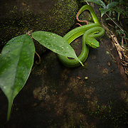 Gumprecht's Pit Viper (Trimeresurus gumprechti) female in Phu Hin Rong Kla national park, Thailand