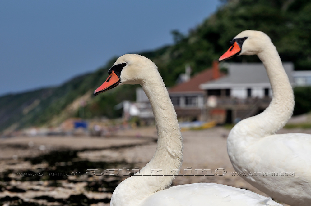 Pair of swans.