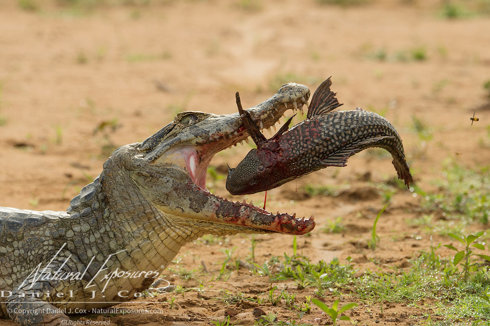 Caiman feeding on a large catfish. Pantanal, Brazil