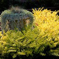 Yellow burning bush.