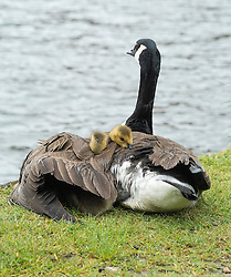 © Licensed to London News Pictures. 26/05/2014. Hampton Wick, UK. Two of the goslings peek out of the mothers protective wing.  A mother Canadian goose protects her young goslings from heavy bank holiday rain on the banks of the River Thames at Hampton Wick today 26th May 2014. Photo credit : Stephen Simpson/LNP