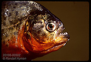 Red-bellied piranha (sp: Pygocentrus nattereri) caught in Tapajos River near Santarem. Brazil