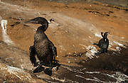 Flightless Cormorant with juveniles<br /> Nannopterum harrisi<br /> Fernandina Island<br /> Galapagos Islands, ECUADOR.  South America