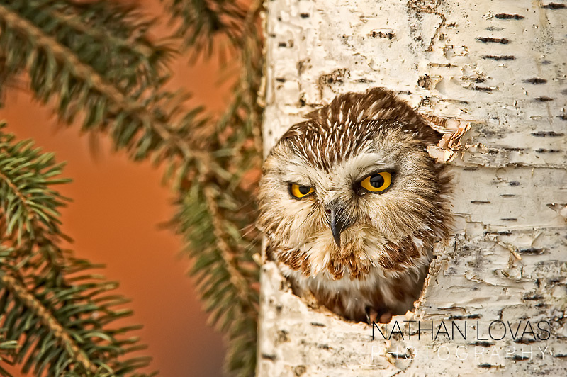 Northern saw-whet owl in birch tree cavity;  Minnesota, controlled conditons.