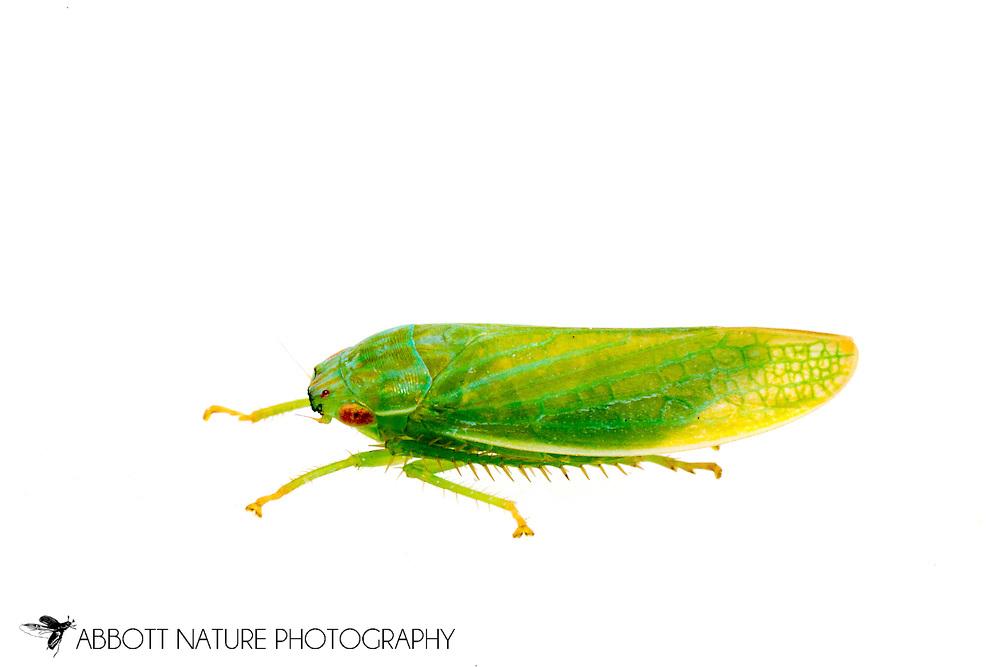 Leafhopper (Gyponana sp.)<br /> United States: Alabama: Tuscaloosa Co.<br /> Tulip Tree Springs off Echola Rd.; Elrod<br /> 16-Jun-2016<br /> J.C. Abbott #2833 &amp; K.K. Abbott