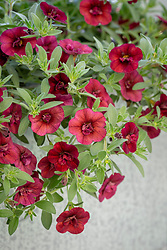 Calibrachoa 'Double Can Can Wine Red'