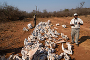 Poached elephant skulls. View of the skulls of elephants which have been killed by poachers for their tusks. Poached elephant tusks are sold for ivory, which is illegal in many countries, and is carefully monitored. poaching of these animals has led to a dramatic reduction in their numbers, and are now classified as endangered species. National parks and reserves have been set up in an effort to preserve the wildlife, but poachers still succeed in killing many animals. Photographed in the Lake Kariba National Park, Zambia.