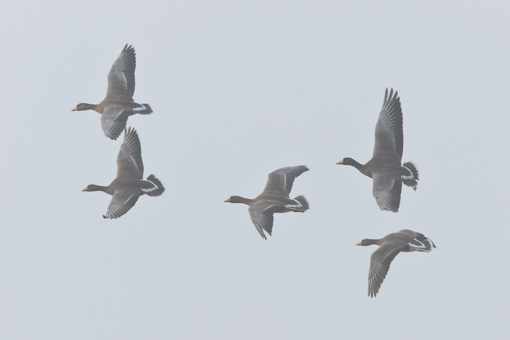 Greater White-Fronted Geese (Anser albifrons) getting ready to land in morning fog for a day of foraging on Susitna Flats State Game Refuge near Beluga  in Southcentral Alaska during the spring migration.