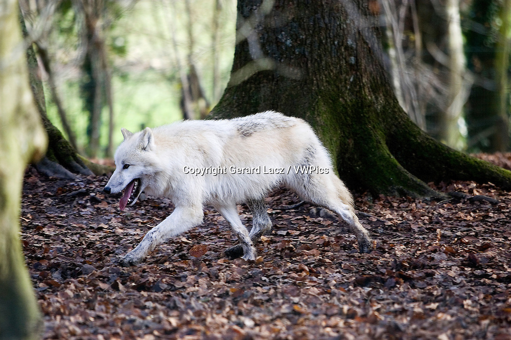 Arctic Wolf, canis lupus tundrarum, Adult walking on Dried Leaves